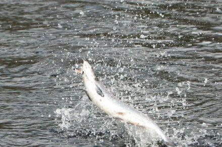 лицензионная рыбалка на семгу