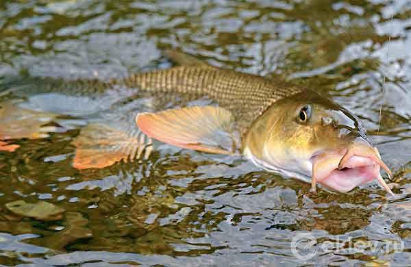 усач рыба как ловить