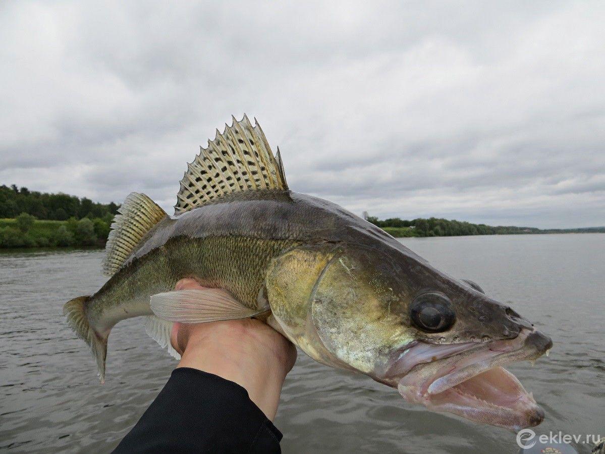 силе воли картинки рыбы на средней волге для любого выше